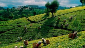 Teeplantage Pindaya