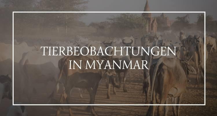 Tierbeobachtungen Myanmar